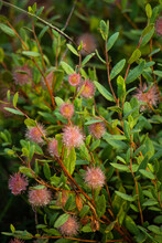 Wildflower With Pink Puff Ball And Green Leaves