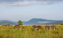 Herd Of Zebra At A Distance With Green Grass, Mountains, And Blue Sky