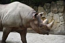 A Rhino Taking A Walk