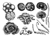 Medicinal Mushrooms Illustration Collection. Adaptogenic Plants Sketches. Perfect For Recipe, Menu, Label, Icon, Packaging