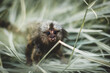 The common marmoset baby on the branch in summer garden