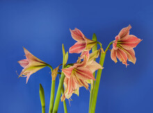 "Hippeastrum (amaryllis) Butterfly Group ""Exotic Star"" On Dark Blue Background."