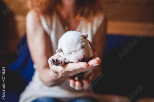 Fotografie, Obraz Newborn swiss shepherd lying in breeder hands