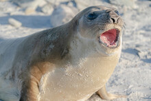 Elephant Seal On The Beatch