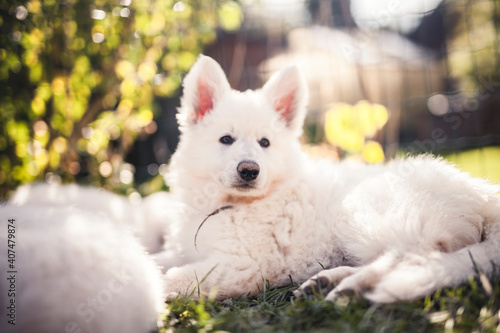 Tablou Canvas Sleepy small Swiss shepherd dog in the grass