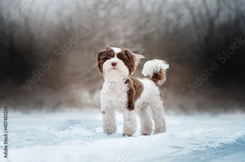 Fotografija yorkshire terrier dog magic light lovely pet portrait on a snow walk
