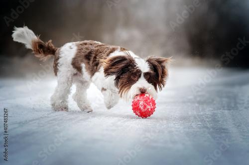 Fototapeta yorkshire terrier dog magic light lovely pet portrait on a snow walk