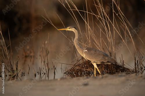 Photo A portrait of a Grey Heron at Asker marsh, Bahrain