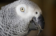 Close Up Potrait Of African Grey Parrot