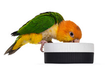 Young White Bellied Caique Bird, Sitting Side Ways On Edge Of Food Bowl. Head In Bowl Like Eating. Isolated On White Background.