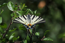 The Scarce Swallowtail (Iphiclides Podalirius) Is A Butterfly Belonging To The Family Papilionidae.