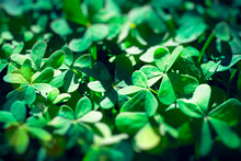 Defocused Green Shamrock Nature Background. Fresh Juicy Green Leafs Of Oxalis, Shamrock, Trefoil. St. Patrick's Day Holiday Symbol. Close Up.