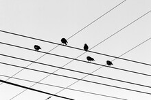 A Large Flock Of Birds Sits On Wires Through Which An Electric Current Flows. Black And White Vector Image.