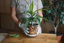 Spring Houseplant Care, Waking Up Indoor Plants For Spring. Female Hands Spray And Washes The Leaves Of Dracaena Fragrans House Plants At Home. Garden Room, Biophilia Trend, Living With Nature