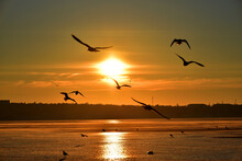 Sea Gulls Flying In Sunset Sky, Golden Shades