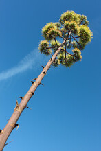 Inflorescence Of Agave Plant Against The Blue Sky, Algarve