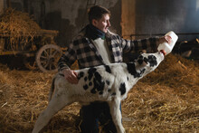 Cinematic Shot Of Young Male Farmer Is Feeding From The Bottle With Dummy An Ecologically Grown Newborn Calf Used For Biological Milk Products Industry In A Cowshed Stable Of Countryside Dairy Farm.