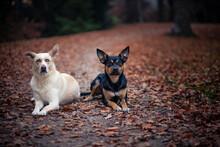 Zwei Hunde Zusammen Im Herbst. Hunde  Freunde Liegen Im Laub. Ein Australian Kelpie Und Ein Mischling Zusammen In Der Natur