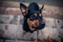 Potrait Von Einem Australian Kelpie Im Herbst. Australischer Schwarzer Hund Im Laub.