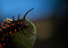 Top View Of Pipevine Swallowtail Caterpillar On A Dutchmans Pipe Vine