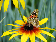 Butterfly Vanessa Cardui Sits On A Flower Rudbeckia And Drinks Nectar