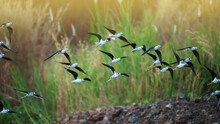 A Flock Of Black-winged Stilt Birds Flying Over A Lake.