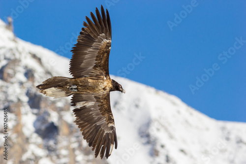 Foto Gran Paradiso National Park, Piedmont, Italy: young bearded vulture (gypaetus barbatus) in flight above the Alps in winter