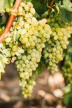 Raisin De Table Blanc Sur Pied, Dans Les Vignes Du Sud De La France
