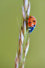 Macro Of Seven Spots Ladybug (Coccinella Septempunctata) On Stem On Green Background