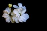 Fototapeta Kwiaty - Białe kwiaty