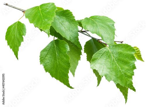 Obraz na płótnie Green birch branch on white background