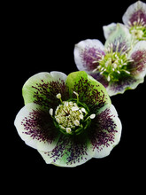 Macro Of Three White And Pink Flowers Of Hellebore With Black Background