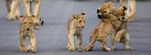 Lion Cubs In Kruger National Park