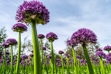 Flower Fields In Holland. Purple Allium Varieties Gladiator. Ornamental Onions Globemaster (Allium Giant) Close Up. Violet Flowers In The Form Of A Ball.