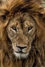 Close-up Of A Male Lion In Serengeti National Park