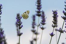 Farfalle Nei Fiori