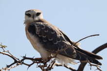 Closeup Shot Of A Falcon