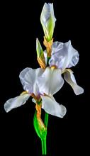 Iris White Background Close Up