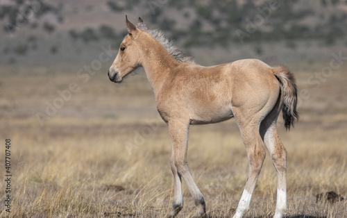 Cute Wild Horse Foal in Utah