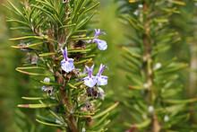 Rosemary, Rosemary Flower, Rosemary Herb, 로즈마리, 로즈마리꽃, 허브