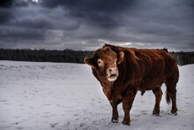 Beautiful Big Red Limousin Red Angus Bull Standing Outside In Winter Pasture With Dark Blue Clouds And Mountain Forest