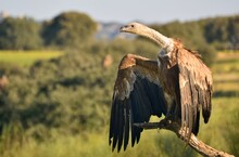 Great Griffon Vulture Showing Its Great Neck In Monfrague National Park