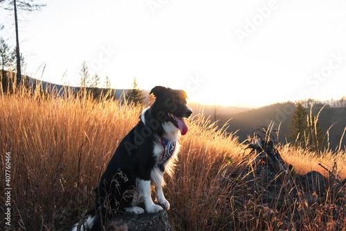 Fototapeta Selective focus shot of black and white border collie stands on the stump with o