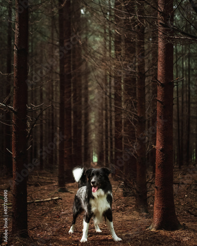Papel de parede Vertical shot of black and white border collie in forest