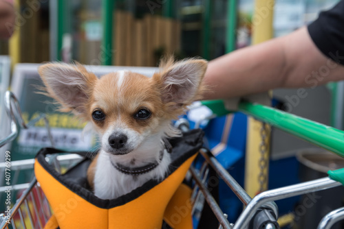 Obraz na plátne Chihuahua Sits Tired In A Shopping Cart - Close-up