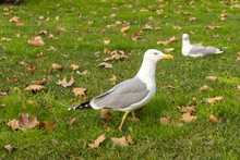 Seagull Walking In The Park. Seagull Going On The Green Grass Close Up.