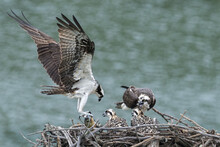 Mother Osprey Bringing Food To The Babies In The Nest