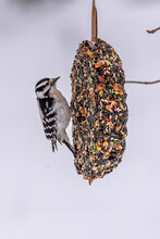 Black And White Striped Downy Woodpecker Perched On Bird Seed Suet Feeder In Winter