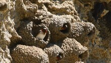 Cliff Swallows Nest Building At Soda Butte In The Lamar Valley, Yellowstone National Park, Wyoming. Camera Locked.