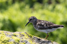 Ruddy Turnstone Perched On A Seaweed-covered Rock By The Ocean